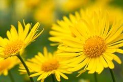 Gula blommor i trädgård royaltyfri foto