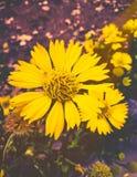 Gula blommor med den kalla suddiga bakgrunden för mjuka signaler arkivfoto