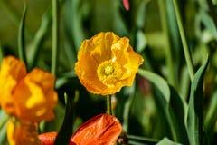 Gula blommor med en gr?n bakgrund i v?r royaltyfri bild