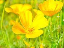 Gula blommor på grönt fält Royaltyfri Fotografi