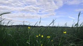 Gula blommor på grönt fält med blå molnig himmel stock video