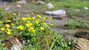 Gula blommor på liten bergliten vik från ett Pyrenees berg i Spanien stock video