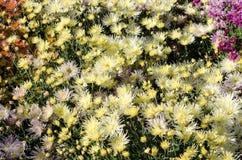 Gula blommor som blommar textur Hösten blommar bakgrund arkivfoto