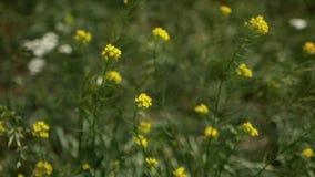 Gula blommor som sv?nger i gr?set i vinden stock video