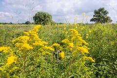 Gula blomninghuvud av Goldenrod växter Arkivbilder
