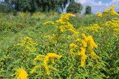 Gula blomninghuvud av Goldenrod växter Arkivbild