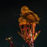 Gula Butterflie Royaltyfri Fotografi