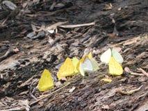 Gula buttlerflies på bakfloden royaltyfri bild
