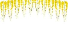 Gula Cassia Fistula - guld- duschblomma på vit bakgrund med kopieringsutrymme vektor illustrationer