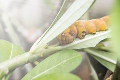 Gula Caterpillar på det gröna bladet Royaltyfri Bild