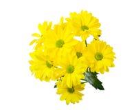 Gula chrysanthemums Royaltyfria Foton
