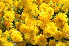 Gula chrysanthemums Royaltyfria Bilder
