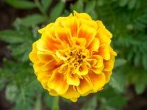 Gula chrysanthemums Royaltyfri Foto