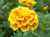 Gula chrysanthemums Arkivfoton