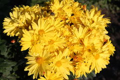 Gula chrysanthemums blommor arbeta i trädgården yellow Royaltyfri Bild