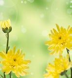 Gula chrysanthemums på en blurbakgrund Fotografering för Bildbyråer