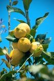 Gula citroner som hänger på träd Royaltyfri Fotografi