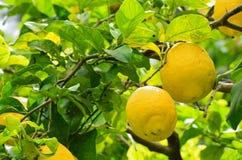 Gula citroner som växer i en trädgård Royaltyfri Bild