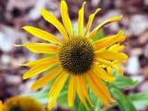 Gula Coneflower - Echinacea Royaltyfria Bilder
