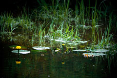 Gula Cowlily växter i dammet Arkivbild