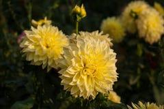 Gula dahlior ljusnar strålarna för sol` s i trädgården i sommaren arkivfoton