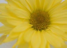Gula Daisy Closeup i snö fotografering för bildbyråer