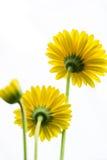 Gula Daisy Flower Facing Up på vit bakgrund Royaltyfri Bild