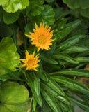 Gula Daisy Flower på grön sidabakgrund fotografering för bildbyråer