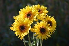 Gula Daisy Heads Royaltyfri Fotografi
