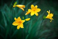 Gula Daylilies Arkivbilder