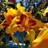 Gula daylilies med röd mitt royaltyfri fotografi