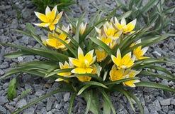 Gula dekorativa blommor i trädgården Arkivbilder
