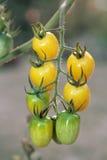 Gula druvatomater på växter i aftonen Arkivfoto
