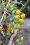 Gula druvatomater på växter i aftonen, ordnar till för att skörda Royaltyfria Bilder