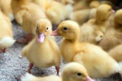 Gula ducklings Arkivbilder