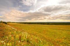 Gula fältblommor och gräs Arkivbilder