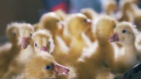 Gula fågelungar kikar och att sitta i en ask, slutet upp stock video