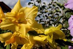 gula gladiolusträdgårdblommor i sommar royaltyfria bilder