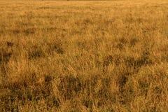 Gula grässlättar Royaltyfri Bild