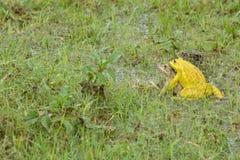 Gula grodor spelar Fotografering för Bildbyråer