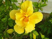 Gula guld- hibiskusblommor föreställer försiktig fasthållande; orubblighet evig skönhet arkivbild