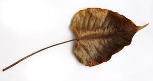 Gula guld- Pipal blad Arkivbild