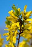 Gula härliga blommor på en bakgrundsblåtthimmel kom fjädern royaltyfria bilder