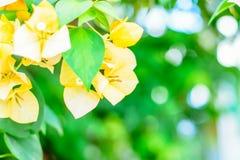 Gula härliga bougainvilleablommor fotografering för bildbyråer