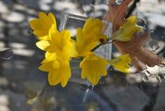 Gula höstkrokusar i glas skorrar med det bruna bladet Royaltyfria Bilder