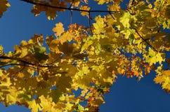 Gula höstlönnlöv mot den blåa himlen arkivfoton