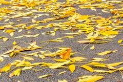 Gula höstsidor av askaen på asfalten Royaltyfri Bild