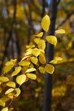 Gula höstsidor i en skog Arkivbilder