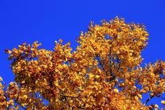 Gula höstsidor på filialerna mot blå himmel Arkivfoton