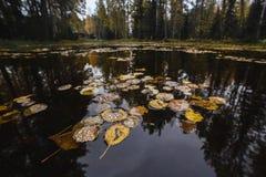 Gula höstsidor på vattnet av skogsjön Royaltyfria Bilder